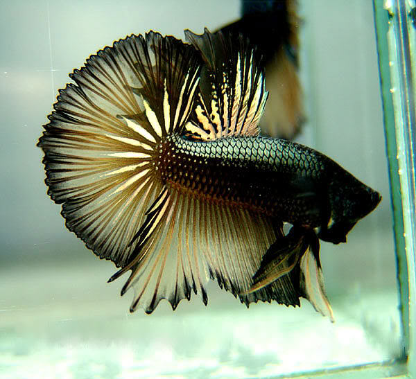 Betta colour patterns live tropical fish for Black betta fish
