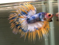 marble betta Crown tail