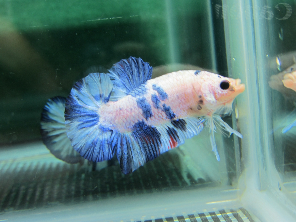 Betta colour patterns live tropical fish for Blue koi fish for sale