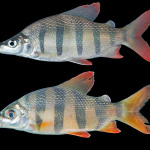 Distichodus sexfasciatus, 88 mm SL,
