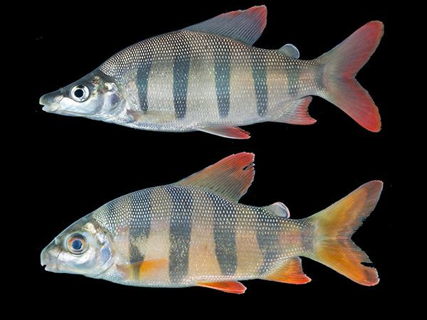 Juvenile Distichodus Lusosso vs Juvenile Distichodus sexfasciatus