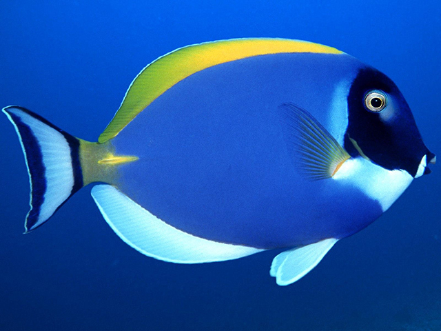 Powder blue tang live tropical fish for Blue saltwater fish