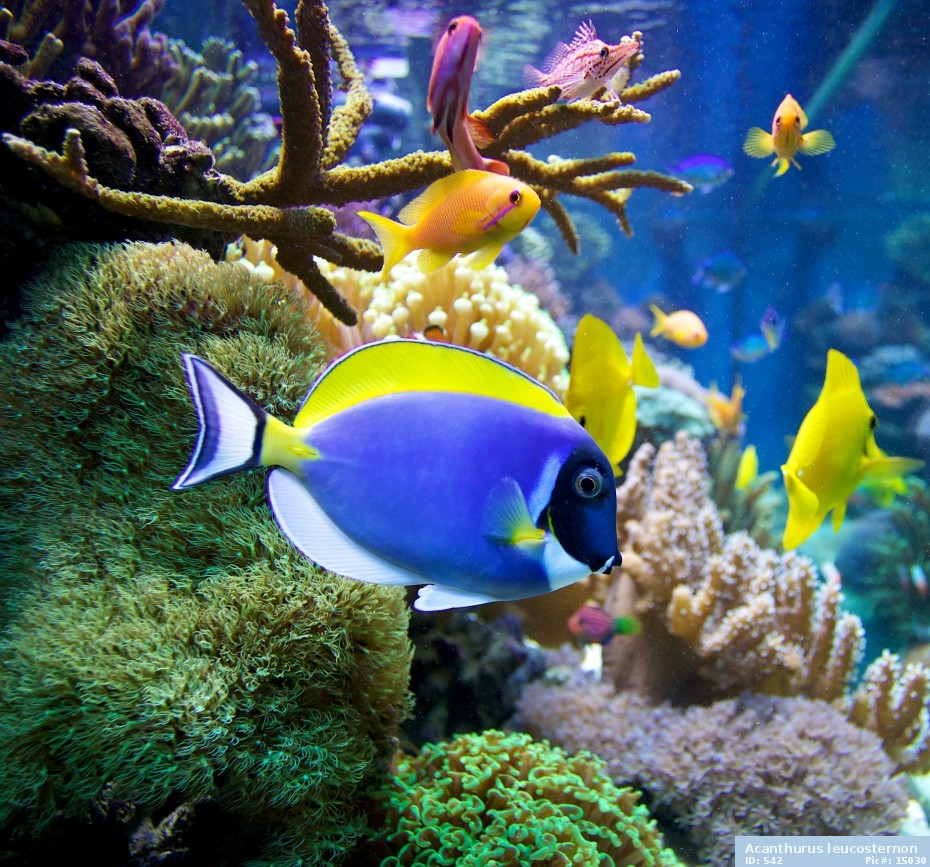 Powder blue tang live tropical fish for What is the fastest swimming fish