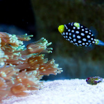 Baby Clown Triggerfish