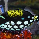 Clown Triggerfish 2