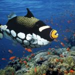 Clown Triggerfish 3