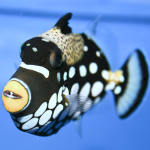 Clown Triggerfish 4
