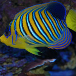 Regal Angelfish4
