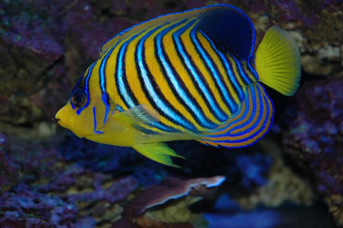 Regal angelfish4 live tropical fish for Live tropical fish