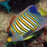 Regal Angelfish5