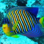 regal angelfish1