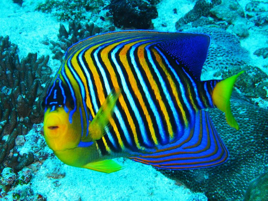Regal angelfish live tropical fish for Where do fish live