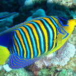 regal angelfish2