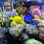 regal angelfish3