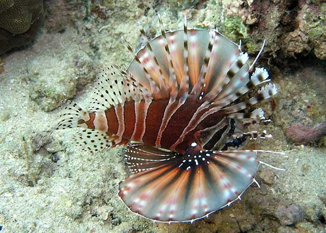 Type of Lionfish - Liv...