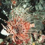 Spotfin lionfish3