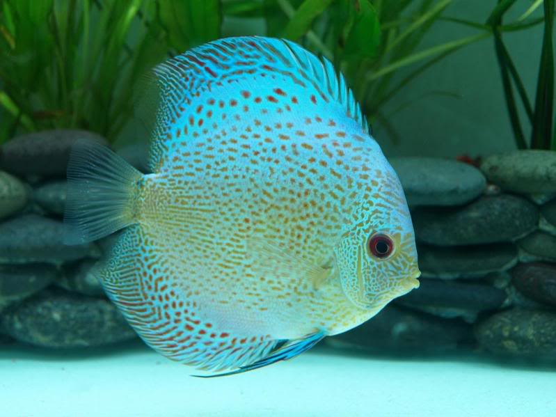 Snakeskin discus live tropical fish for Live discus fish for sale