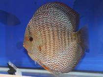 snale skin discus fish