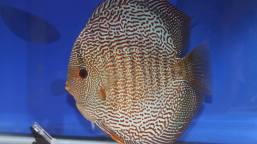 snale skin discus fish