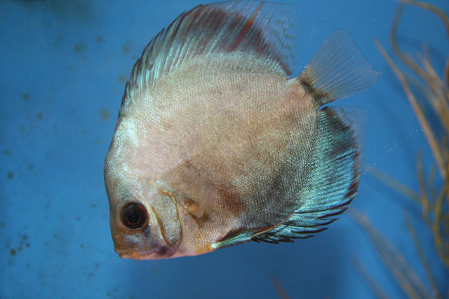 Discus Fish Care Live Tropical Fish