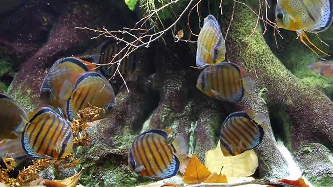 wild discus fish
