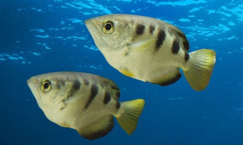 The banded archerfish