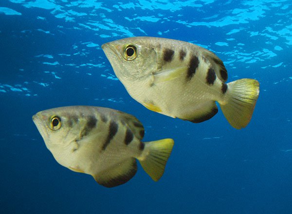 Archerfish live tropical fish for California freshwater fish