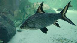 bala shark fish full grown2