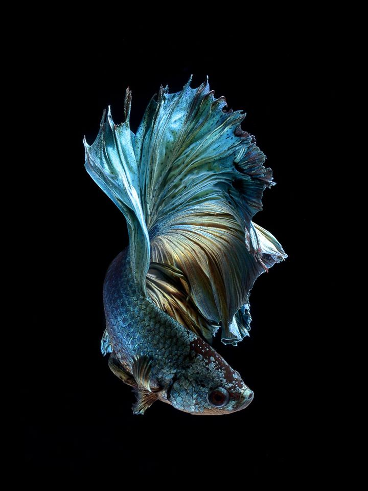 Iphone 6s announced with betta background live tropical fish for Betta tropical fish