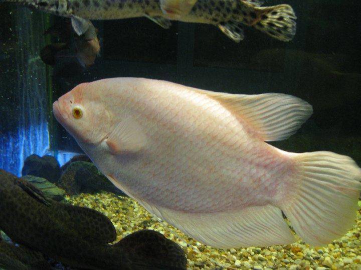 Giant gourami live tropical fish for Live tropical fish