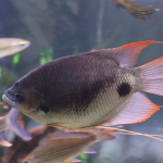 baby red tail giant gourami