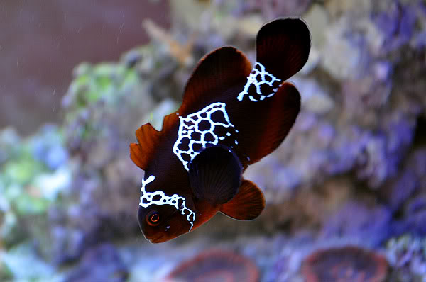 The Lightning Maroon Clownfish 2