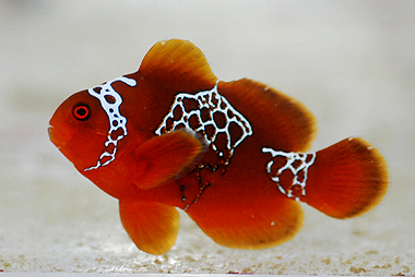 The Lightning Maroon Clownfish