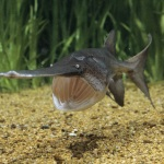 american paddlefish fish