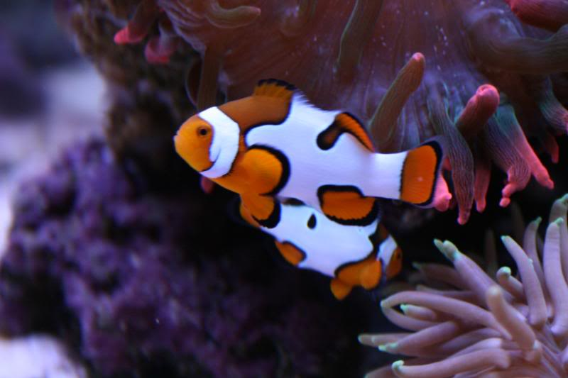 black picasso clownfish