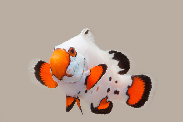 frostbite chilled clownfish