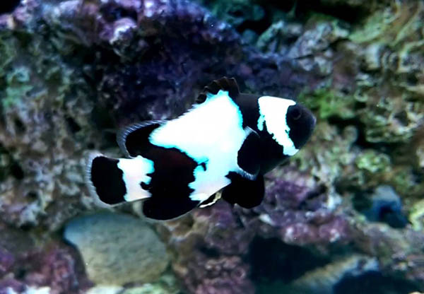 phantom clownfish2