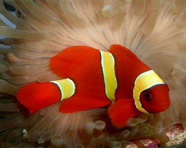 yellow stripe maroon clownfish2