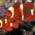 yellow stripe maroon clownfish3
