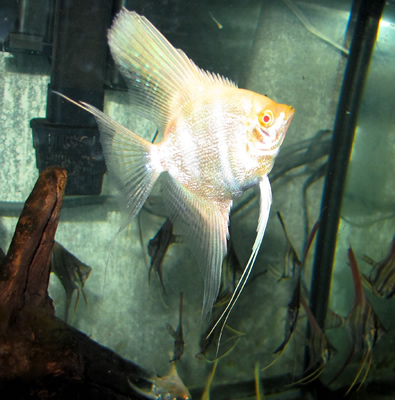 Albino Angelfish