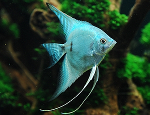 Blue Blushing Angelfish