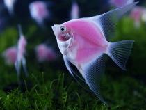 Freshwater Angelfish2