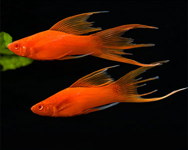 HiFin Lyre tail Swordtail