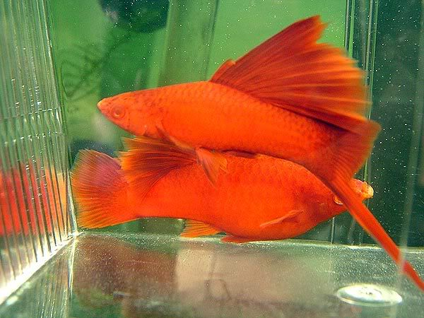 super red Swordtail