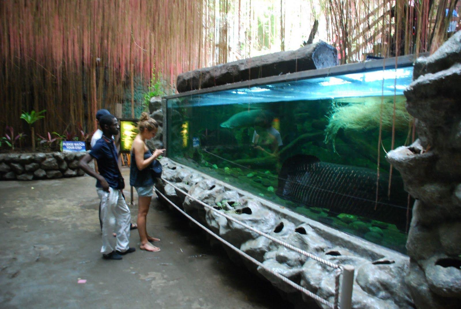 Arapaima Live Tropical Fish
