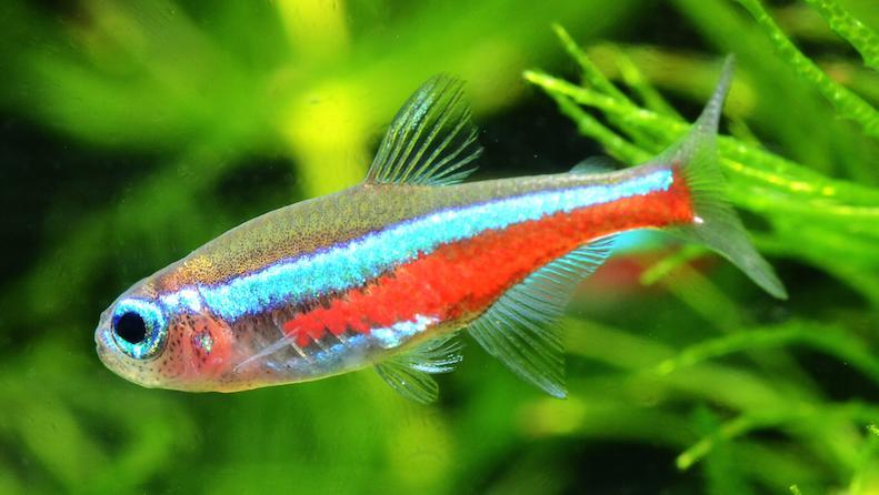 Neon Tetra Fish Live Tropical Fish Live Tropical Fish