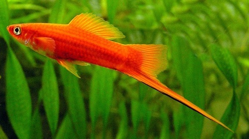 Tiger barb : Care, tank mates and more - Live Tropical Fish
