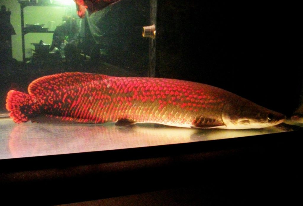 Arapaima The Biggest Freshwater Fish Live Tropical Fish