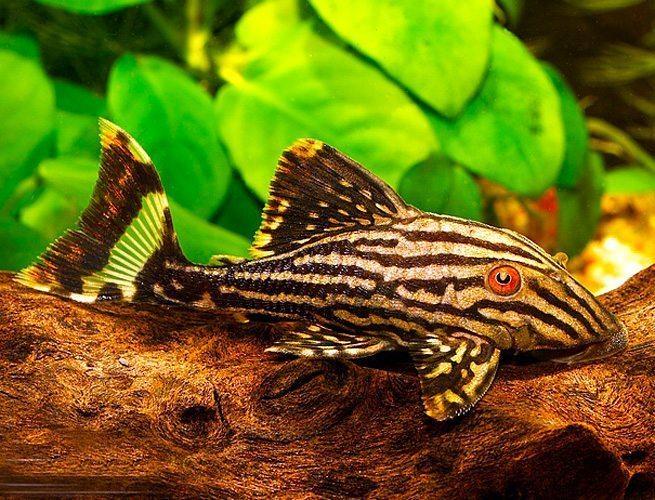 Plecostomus Suckerfish Live Tropical Fish