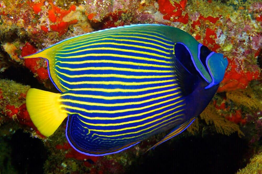 emperor angelfish king angelfish aquarium live tropical fish